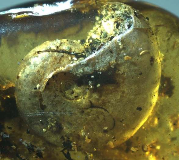 A close up of an ammonite trapped within the amber