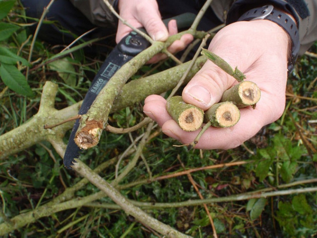 Lesion staining on the branches of an ash tree