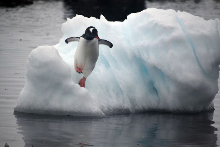 A Gentoo penguin leaps off an ice flow into Mikkelsen Harbor, Antarctic Peninsula