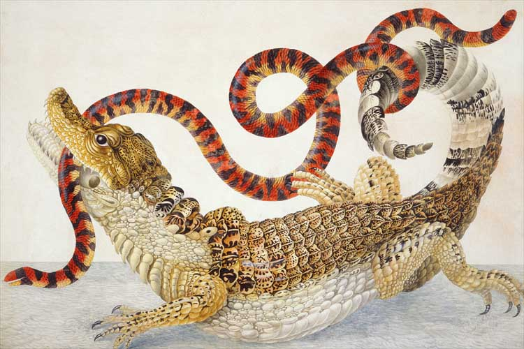A painting of a Spectacled Caiman fighting with a False Coral Snake - the snake is in the caiman's jaws, but wrapped around its tail