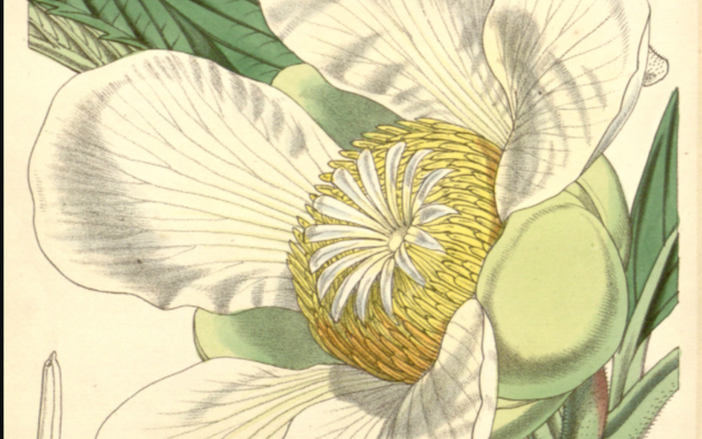 Botanical drawing of flower