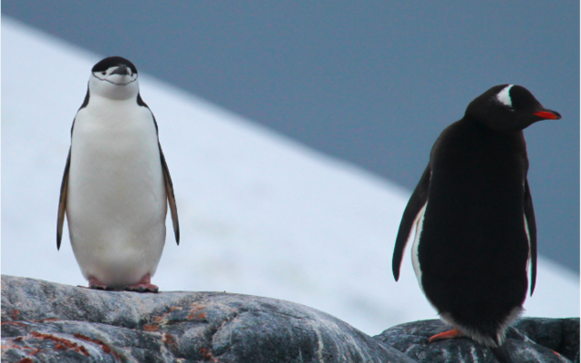A Gentoo and Chinstrap penguin standing on guano covered rocks at a breeding colony along the Antarctic Peninsula