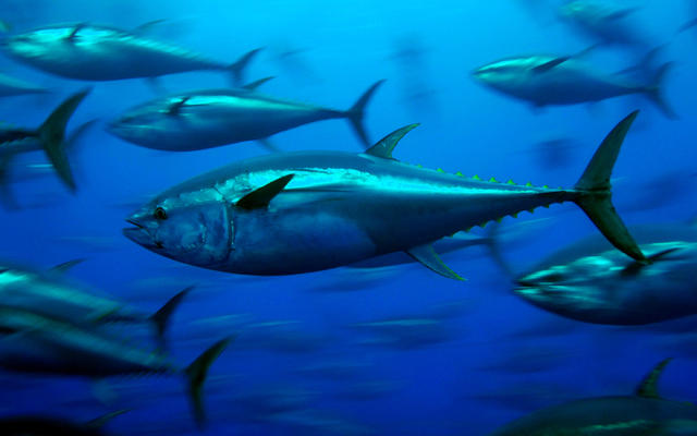 A shoal of yellow fin tuna
