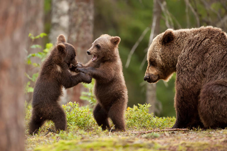 Two young bears, stood up and scuffling, while watched by an adult bear