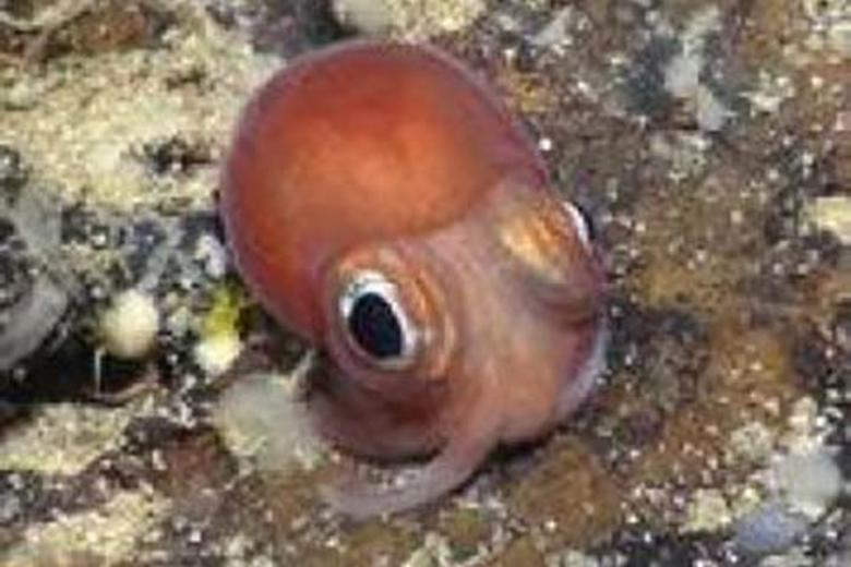 A juvenile of an unidentified species of octopus