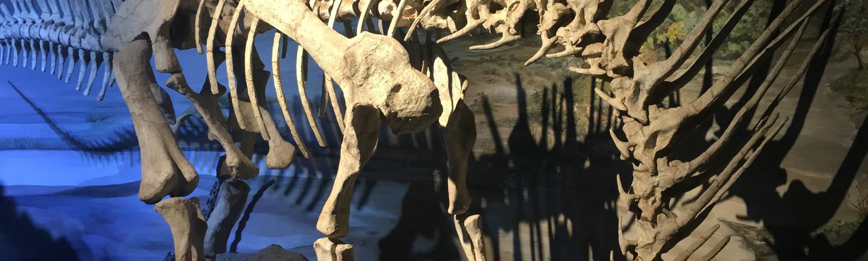 Dinosaur skeleton shown in museum