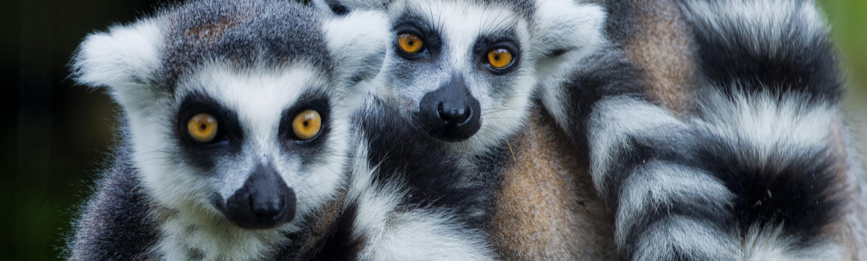 A group of three reinged-tailed lemurs