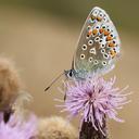 A common blue butterfly, sat on a purple flower