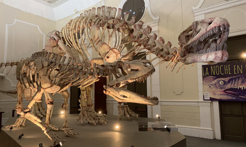 Two dinosaur skeletons in a museum