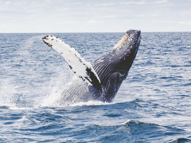 A humpback whale jumping out of the sea
