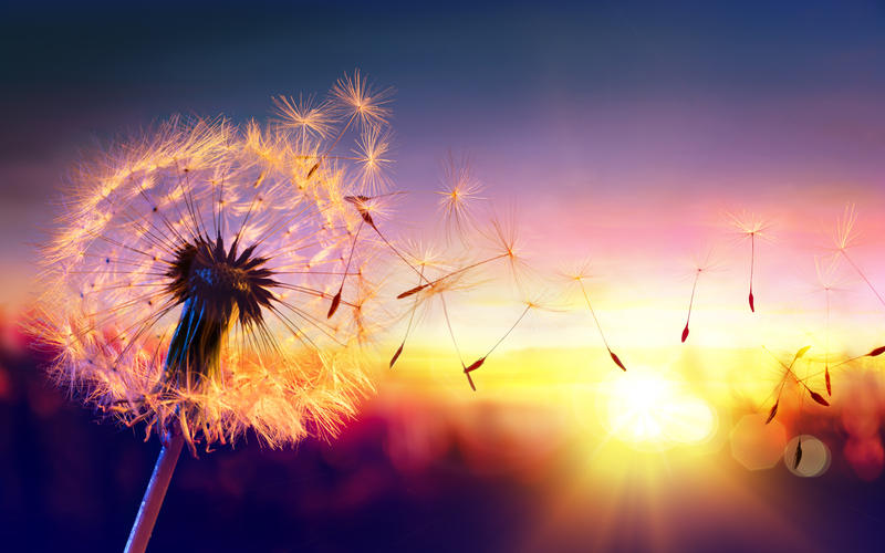 Dandelion against a sunset