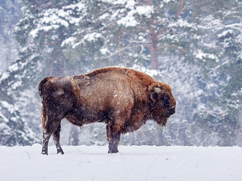 A European bison, stood in a snow covered field, with more snow falling