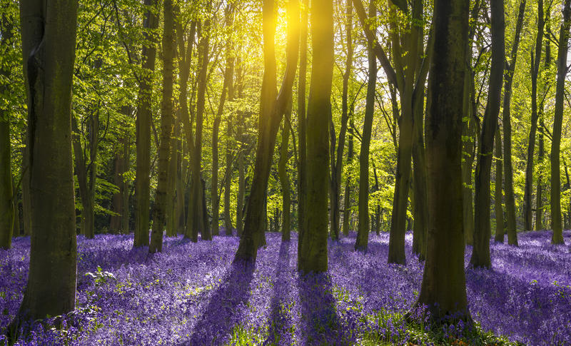 A wooded area, carpeted with bluebells