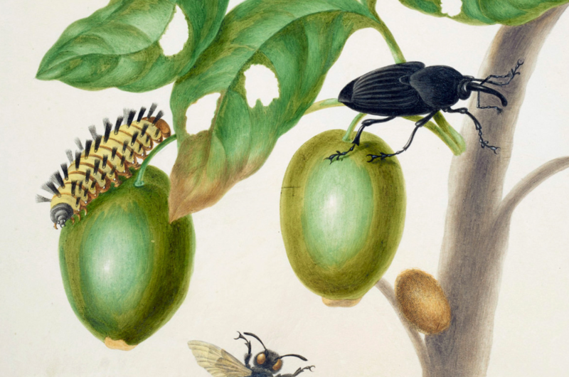 A watercolour of a branch of Genipapo with a South American Palm Weevil, Euglossine Bee (partly seen), and Flannel Moth Caterpillar on it
