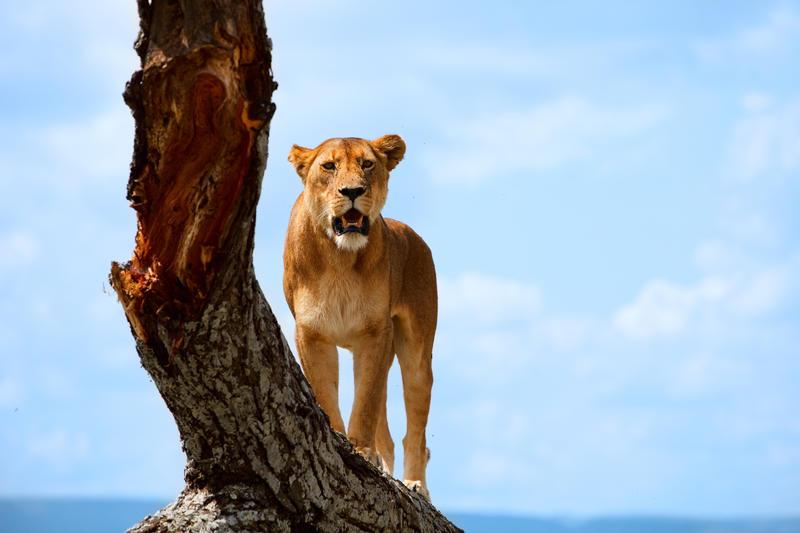 A lioness stood on a tree