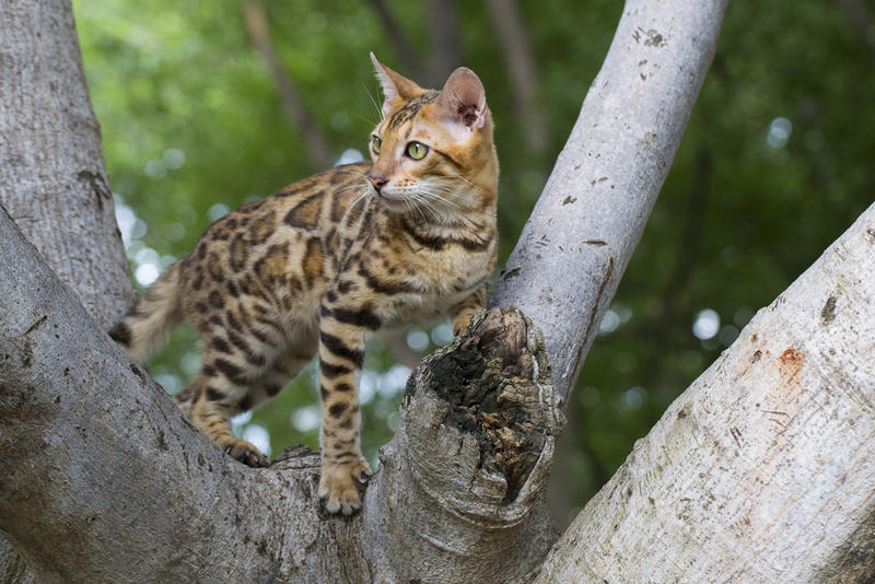 A marbled cat stood in a tree