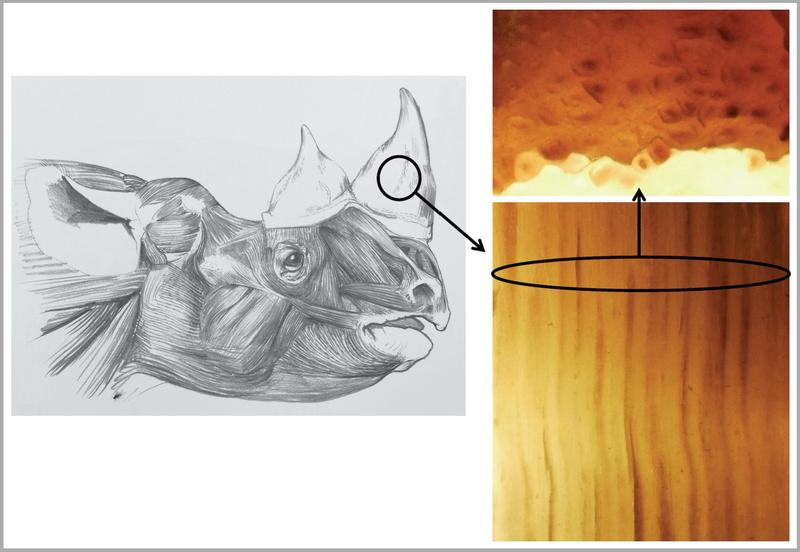 A drawing of the head of a black rhino, with a close-up drawing of slivers of its horn