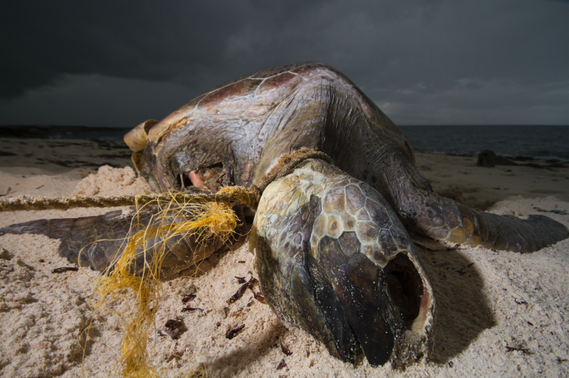 A dead turtle on a beach, with a rope around its neck