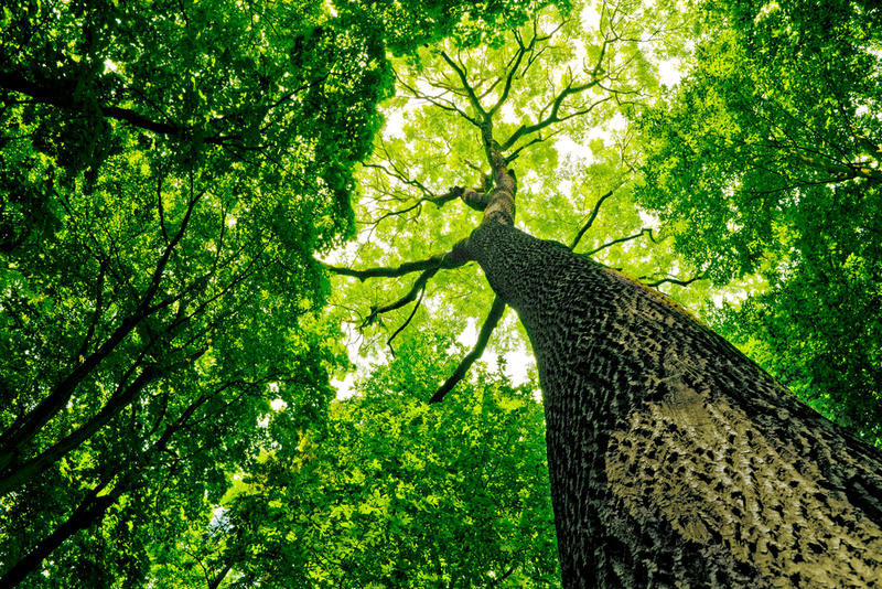 A view vertically up a tree trunk at the canopy of a deciduous woodland