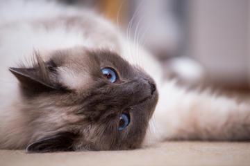 A birman cat lying down