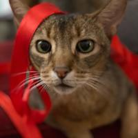 Pet cat with red ribbon